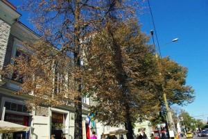 Kuivand puud Viru väljakul Tuletõrjemaja ees